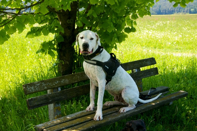 Dogo_Argentino_Bailey_04